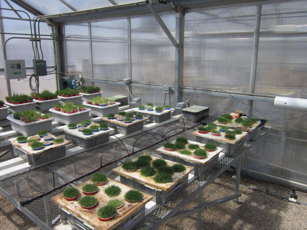 Bermuda grass greenhouse picture
